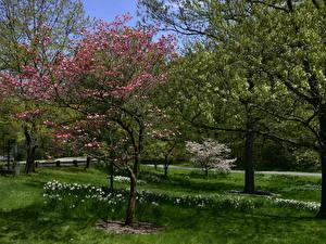 Фотография Штаты Сады Весенние Цветущие деревья Нарциссы Нью-Йорк Траве Botanical Garden Природа