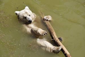Обои Вода Медведи Гризли Лапы Животные