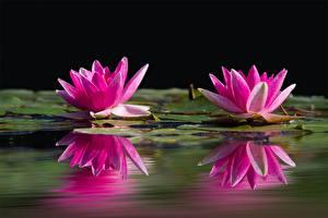Обои Водяные лилии Крупным планом Двое Розовый Отражение
