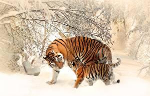 Картинки Зимние Тигры Детеныши Снег Двое животное
