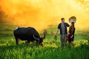 Фотографии Азиаты Бык Мужчина Траве Туман Рога Шляпа Девушки Животные