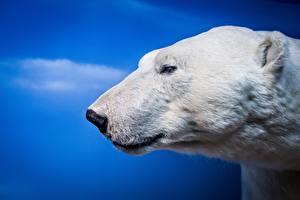 Фото Медведь Северный Головы Морда Животные