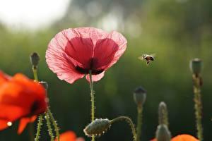 Фотографии Пчелы Насекомые Маки Красная Розовая Цветы