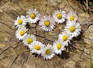 Фотография Маргаритка Вблизи Сердце Белая Пень цветок