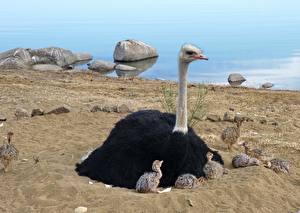 Фото Птица Страус Птенец Песка Сидящие животное
