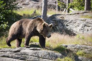 Обои Медведь Бурые Медведи Траве животное