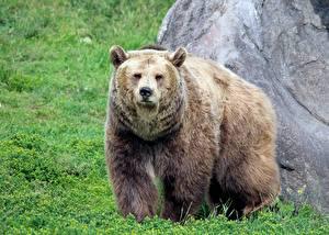 Картинка Медведи Гризли Трава Взгляд Животные
