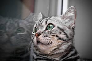 Фотография Кошка Крупным планом Котенок Отражение Голова Усы Вибриссы Животные