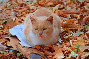 Фото Кот Рыжий Листва Животные