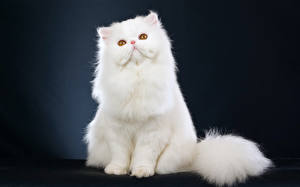 Обои Кошка Белая Сидя Животные