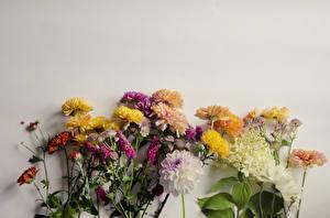Фотография Хризантемы Георгины Сером фоне цветок