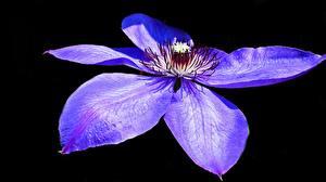 Фото Клематис Вблизи Черный фон Лепестки Синий Фиолетовый Цветы