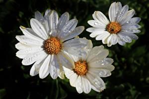 Картинки Вблизи Ромашки Белые Капельки цветок