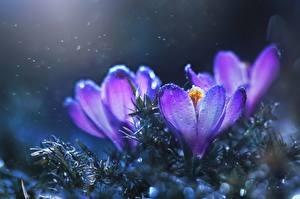 Фото Крупным планом Шафран Фиолетовые цветок