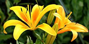 Фото Крупным планом Лилии Желтая Цветы