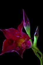 Фото Вблизи Черный фон Темно красный Бутон Mandevilla sanderi Brazilian jasmine цветок