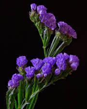 Фото Крупным планом На черном фоне Фиолетовый Wavyleaf sea lavender Limonium sinuatum Цветы