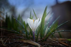 Картинки Шафран Вблизи Трава Белый Капель Цветы