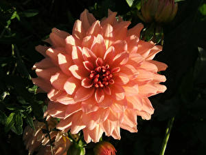 Картинки Георгины Вблизи Розовых цветок
