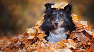 Фото Собака Осень Лист Шелти шетландская овчарка Взгляд Животные