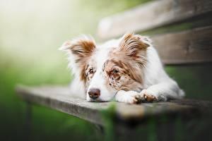 Картинки Собаки Скамейка Аусси Лежит Животные