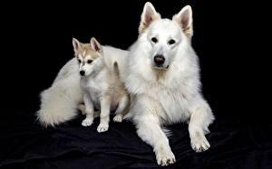 Фотография Собаки Черный фон Белых Щенок Лапы Овчарки Berger Blanc Suisse Животные