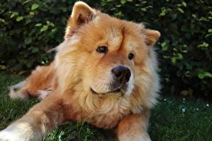 Обои Собака Чау Чау Лежит Смотрят Морда животное