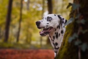 Фотографии Собаки Далматинец Головы Язык (анатомия) животное