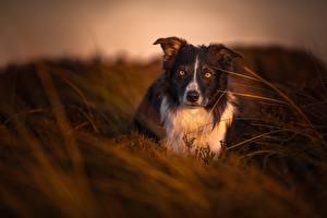 Фото Собака Вечер Бордер-колли Взгляд Трава Животные