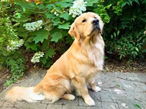 Обои Собака Золотистый ретривер Взгляд