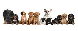 Фото Собаки Много Белом фоне Щенок Бульдог Спаниель животное