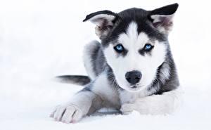 Обои Собака Щенков Хаски Лап Морда Взгляд животное