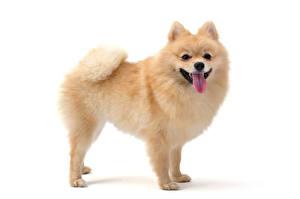 Картинка Собаки Белом фоне Шпицев Языком