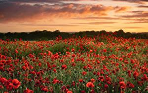 Фотографии Поля Маки Много Рассветы и закаты Природа