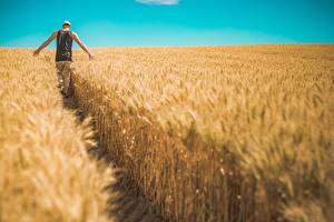 Фото Поля Пшеница Мужчины Тропа Гуляет Вид сзади Природа