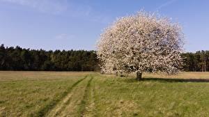 Фотографии Цветущие деревья Траве Деревья Природа