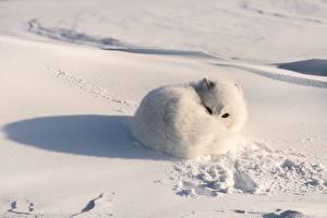 Фото Лисы Песец Снеге Белых