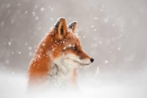 Фотографии Лисица Головы Снеге Смотрит животное