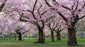 Фотографии Сады Парки Весенние Цветущие деревья Деревьев Сакуры Decorative Cherry Природа