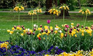 Обои Германия Тюльпаны Первоцвет Рябчик Berlin Gardens цветок