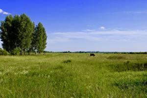 Фотографии Луга Корова Траве Природа