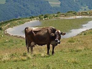 Обои Луга Коровы Траве Животные