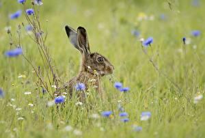Картинки Зайцы Траве Животные