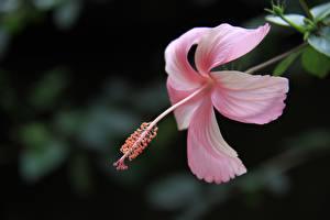 Обои Гибискусы Крупным планом Розовых Лепестки Цветы