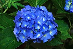 Фото Гортензия Крупным планом Синий цветок