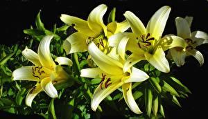 Фотография Лилии Вблизи Желтая Цветы