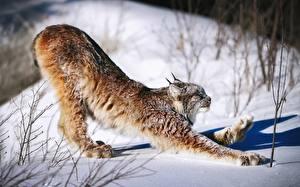 Фотография Рыси Снег Лап Canada lynx