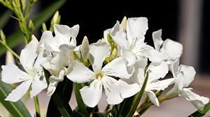 Обои Олеандр Крупным планом Белая Nerium oleander цветок