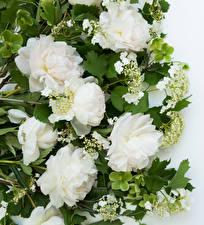 Картинки Пионы Крупным планом Белые цветок