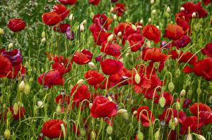 Фото Мак Много Вблизи Бутон цветок
